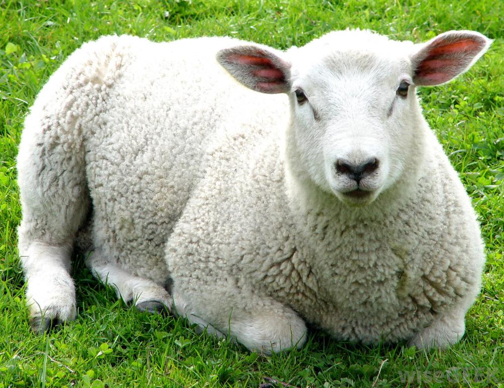 sheep-on-green-grass